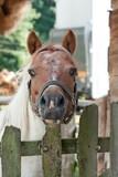 Koń stojący za drewnianym płotkiem patrzący prosto, z postawionymi uszami. - 233153647