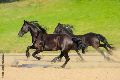beautiful black friesian horses gallop together on a green background