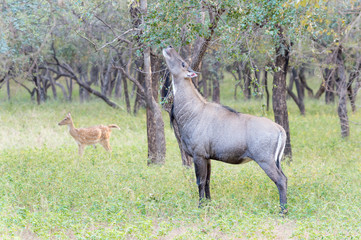 Nilgai (Boselaphus tragocamelus) male feeding on tree in woodland, Ranthambhore national park, Rajasthan, India.