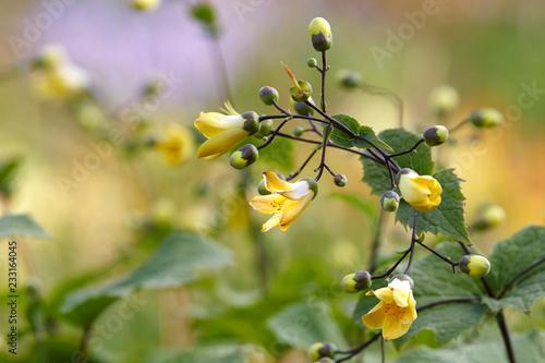 Foto Murales Kirengeshoma Flowers