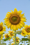 Sun flower in a nature background.A yellow flower in fields.