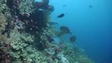 Bluetail unicornfish (Naso caeruleacauda) Cleaning Station - Sipan, Malaysia - 233166279