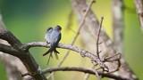Crested Treeswift couple in Ella, Sri Lanka - specie Hemiprocne coronata family of Apodidae - 233171208