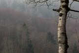 albero di Betulla in primo piano e foresta sullo sfondo - 233173467
