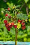 bouquet of wild strawberry - 233179457