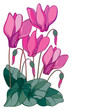 Vector corner bouquet with outline pink Cyclamen or Alpine violet bunch, bud and leaf isolated on white background. Perennial Alpine mountain flowers in contour style for spring design.