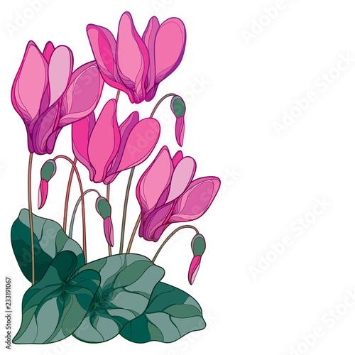Wektor narożnikowy bukiet z konturu menchii cyklameny lub Alpejska fiołkowa wiązka, pączek i liść odizolowywający na białym tle ,. Wieloletnie alpejskie kwiaty górskie w stylu kontur na wiosnę.