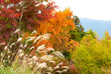 Silver grass before the multicolored mountain and forest of Mt. Mitake in autumn, Tokyo, Japan. - 233197466
