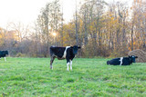 black and white cows graze in a green meadow - 233198802
