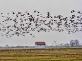large flock of flying Greylag goose Anser anser, in the Hortobágy National Park, Hungary - 233202476