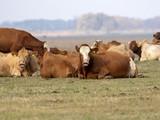 Cows on grazing,  Hortobágy, Hungary - 233202653