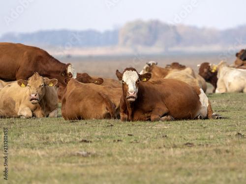 Krowy na wypasie, Hortobágy, Węgry
