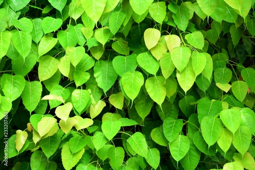 pattern of green bo leaf in the nature - closeup - 233207683