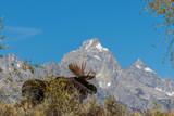 Bull Shiras Moose in Fall in the Tetons