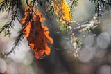 Eichenblatt auf Fichtenzweig im Herbst - 233222897