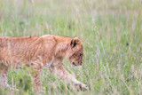 Lion cub walking in the grass - 233225653