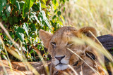 Lion cub lying and resting in the shade of a bush - 233225665