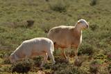 A ewe and its lamb grazing in the southern Karoo. - 233228674