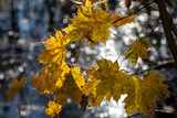 autumnal colored leaves - 233228882