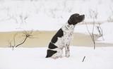 Dog english pointer sitting on the snow