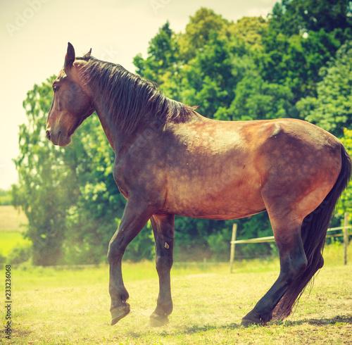 Brown dziki koń na łąkowym idyllicznym polu