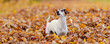 Leinwanddruck Bild - Purebred Jack Russell Terrier 12 years old. Little cute dog is running in the autumn leaves