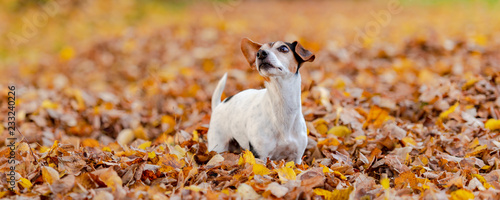 Leinwanddruck Bild Purebred Jack Russell Terrier 12 years old. Little cute dog is running in the autumn leaves