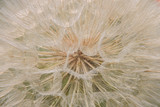 Inside of a dandelion - 233251246