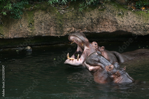 Obraz na płótnie Nilpferd Flusspferd Zoo