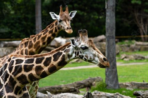 Obraz na płótnie Giraffe 1