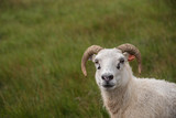Sheep in grassy meadow, Iceland - 233278292
