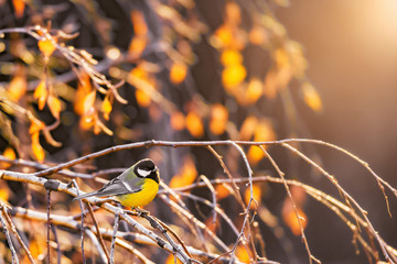 Bird tit on the autumn birch tree branches.