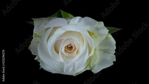 White Rose with Soft Yellow Accents Blooming Macro Time lapse. View from Above on a Black Background.