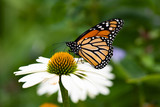 A monarch butterfly feeding on a white cone flower.