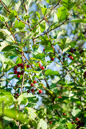 Foto Murales Hawthorn bush with berries in the garden. Shallow depth of field.