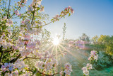 Pink sakura flowers in beatiful morning, spring blossoming cherry tree branch and sun shine through trees. © alicja neumiler