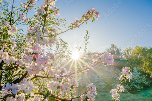 Foto Murales Pink sakura flowers in beatiful morning, spring blossoming cherry tree branch and sun shine through trees.