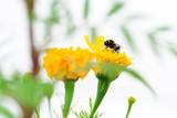 Honey bee collecting pollen on yellow flower. Seasonal natural scene. - 233334805