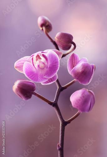 Zdjęcia na płótnie, fototapety na wymiar, obrazy na ścianę : Storczyki różowe