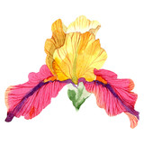 Red yellow Iris Bold encounter. Floral botanical flower. Isolated iris illustration element. Watercolor background.