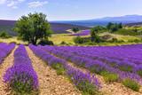 lavender field with landcape and tree, Ferrassières, Provence, France © Jürgen Feuerer