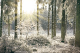 Sunset in winter forest. Winter landscape with snow covered fir trees .