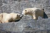 PRAGUE, CZECH REPUBLIC - OCTOBER 10, 2018: Polar bear in the Prague Zoo. - 233377882