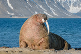 The walrus is a marine mammal, the only modern species of the walrus family, traditionally attributed to the pinniped group. One of the largest representatives of pinnipeds. - 233386649