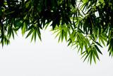 beautiful closeup green bamboo leaves