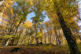 Beech forest with trees in backlight. Dry leaves of the undergrowth. Autumn colors, branches and trunks without leaves. Beech forest, beech forest in autumn. - 233413829