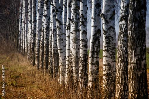 trunks of birch trees  - 233420877