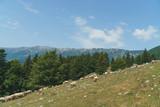 Sheep Stock Walking Up Hill - 233424482