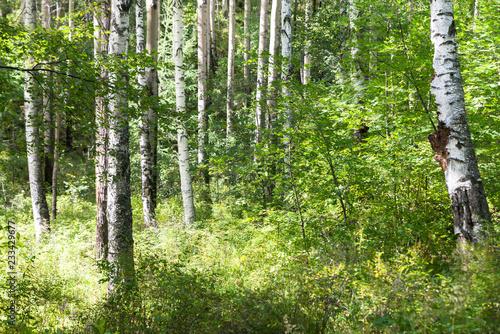 Randonnée en forêt de bouleaux sur le Great Baïkal trail - 233429677