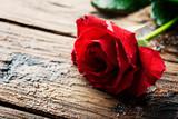 Amazing red rose